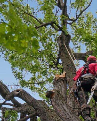 arborist on a tree